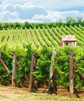Wijnbouw in Hongarije